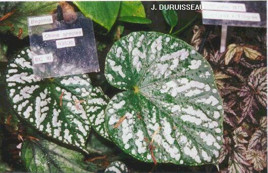 Begonia argenté à identifier si possible Rockii